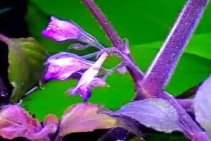 цветок гигрофилы лимонника