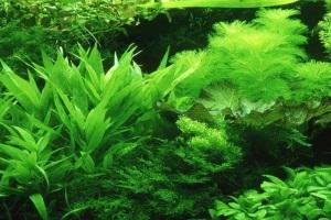 неприхотливые аквариумные растения для начинающих фото