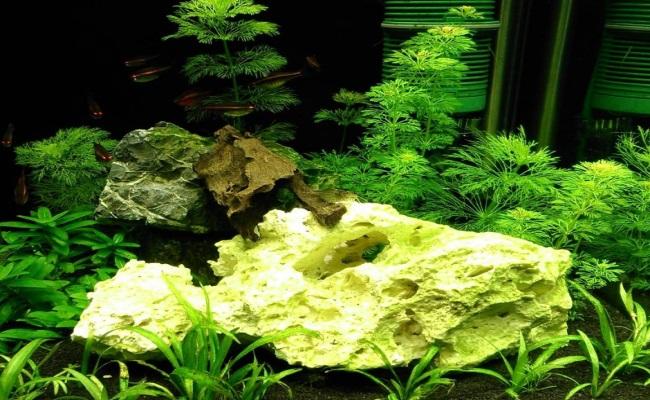 аквариум с растущей лимнофилой