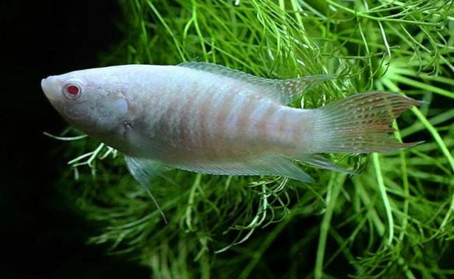 albino macropodus