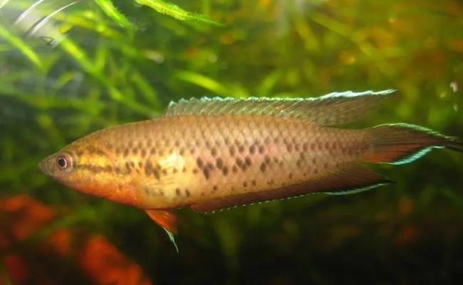 macropodus cupanus