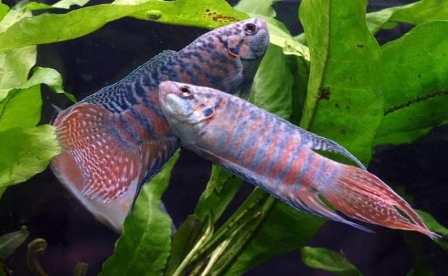 macropodus opercularis неприхотливые рыбки для маленького аквариума