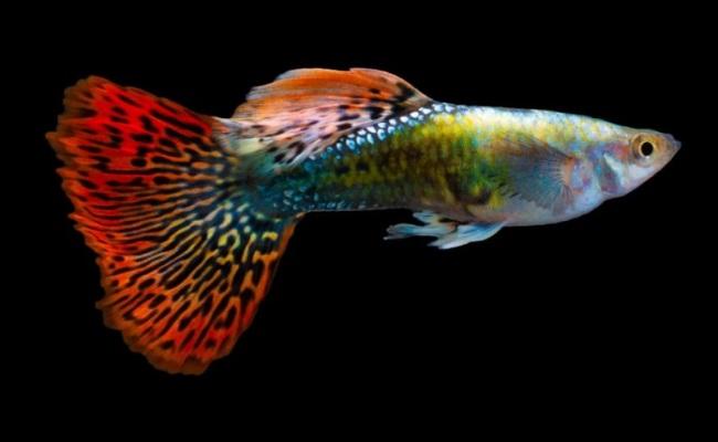 многоцветная гуппи
