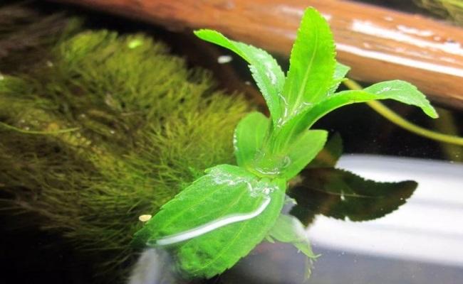 мутовка надводных листьев лимнофилы