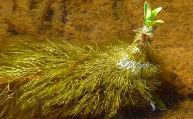 надводные листья лимнофилы