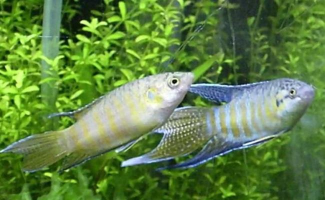 самка и самец макропода