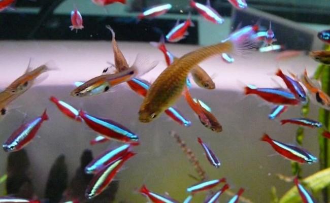 совместимость гуппи с другими рыбами