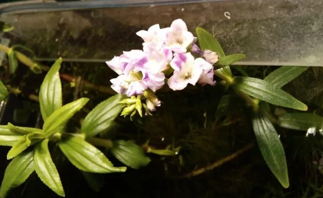 цветение лимнофилы в аквариуме