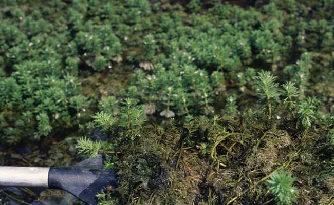заросли лимнофилы