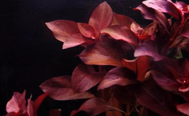 Ludwigia Repens «Rubin» людвигия рубин