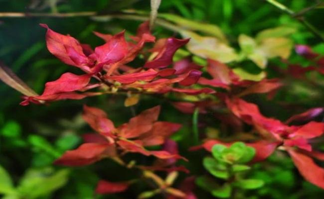 Ludwigia palustris людвигия болотная