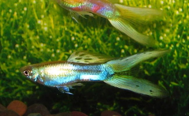 Platinum Swordtails