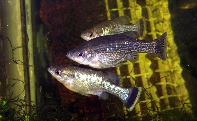 аквариумные живородящие рыбки амека