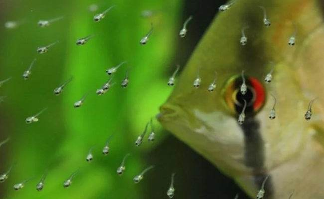 личинки скалярии