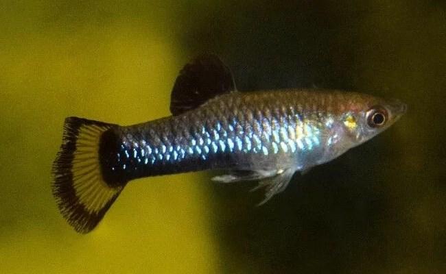 лимия живородящая рыбка из южной америки