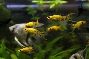 моллинезия в общем аквариуме