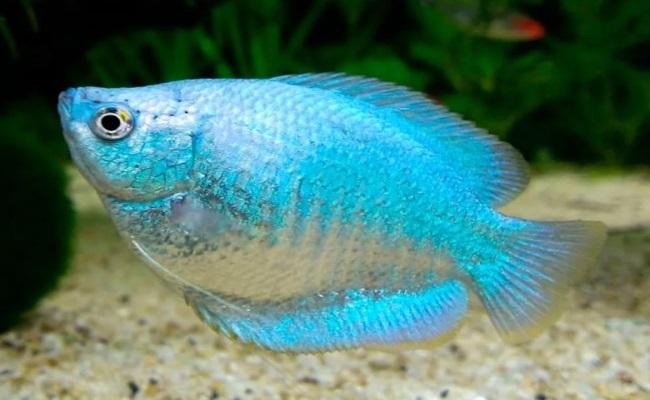 неоново-голубой лялиус