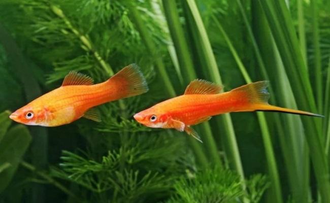 пара меченосцев в аквариуме