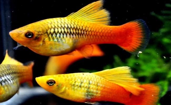 живородящие рыбки пецилии
