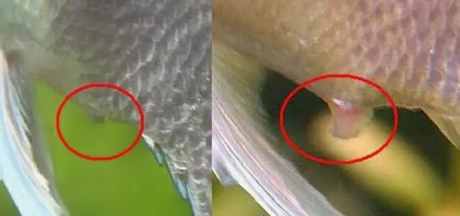 признак как отличить самку скалярии от самца