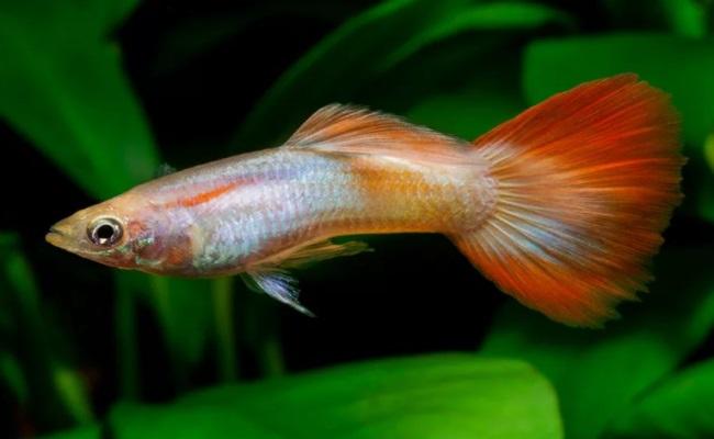 самец гуппешки неприхотливые рыбки для начинающего аквариумиста