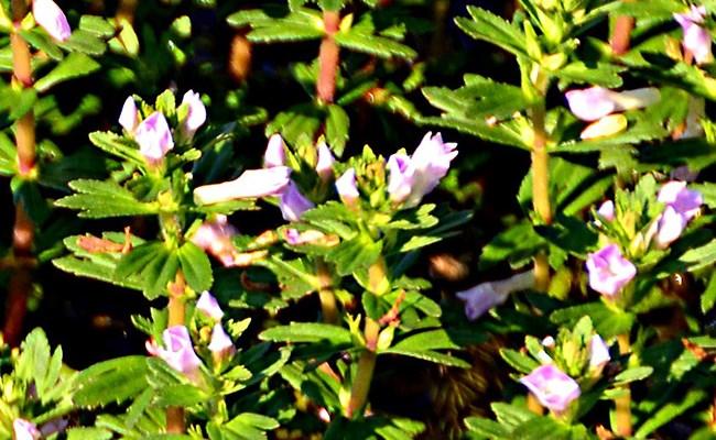 цветки лимнофилы сидячецветковой