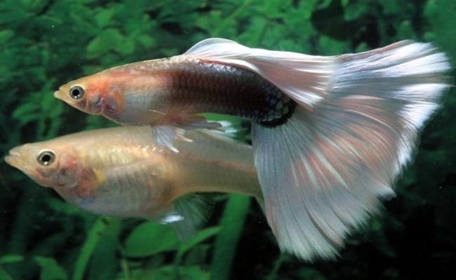 живородящие акваримуные рыбки во время спаривания