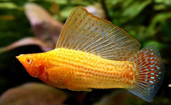золотая моллинезия велифера