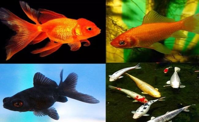 золотые неприхотливые рыбки