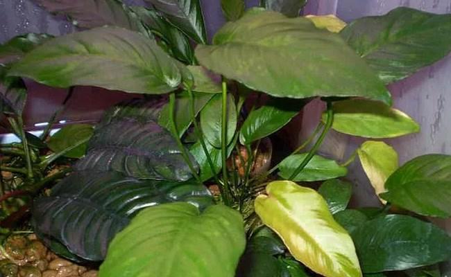 анубиасы разнолистные Anubias heterophylla