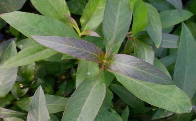 Hygrophila corymbosa Typ. crispa