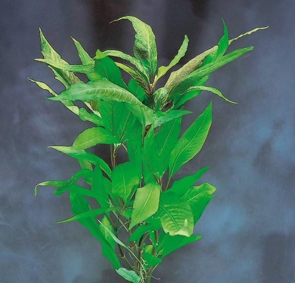 Hygrophila corymbosa type 'glabra'