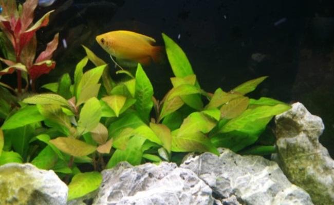 гигрофила лимонник в аквариуме с рыбками
