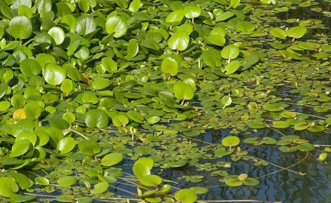 лимнобиум завоевывает водоем