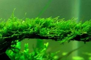 яванский мох в оформлении аквариума