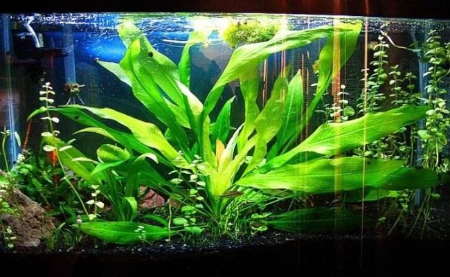 амазонка в аквариуме