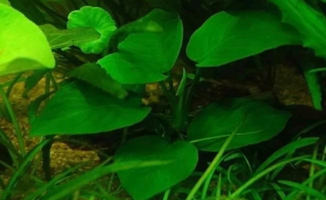 карликовый анубиас бартера