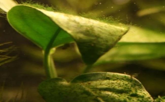 листья карликового анубиаса покрыты водорослями
