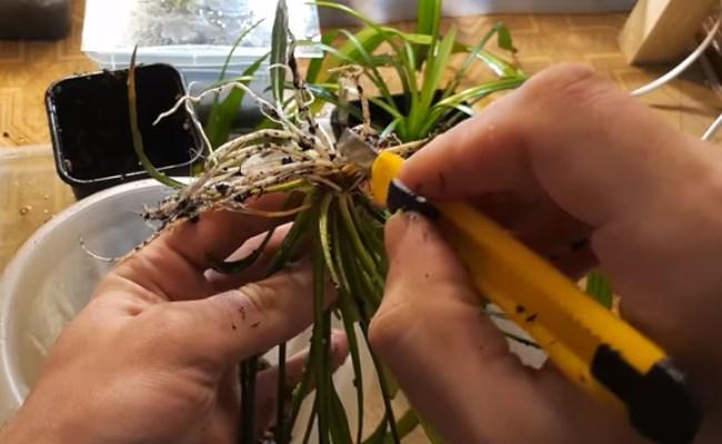 размножение амазонки делением корневища