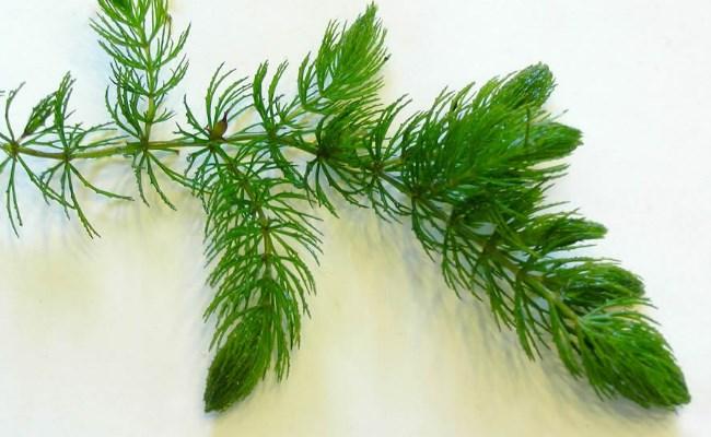 Ceratophyllum muricatumCham.