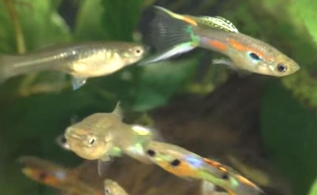 группа гуппи Эндлера в аквариуме