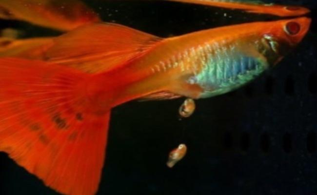 размножение гуппи эндлера в аквариуме
